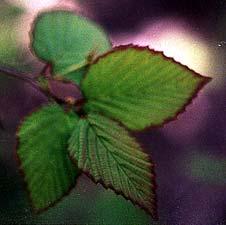 Winter Hazel Leaf