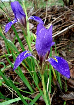 Winter Iris