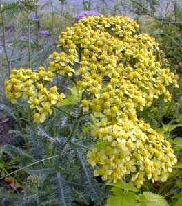 Pale Yellow Yarrow