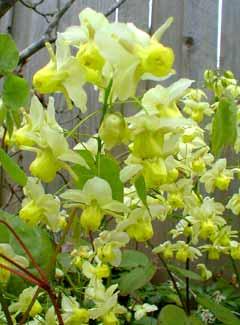 Epimedium blooms