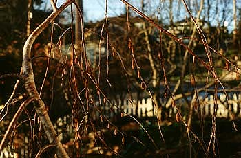 Young's Birch in December
