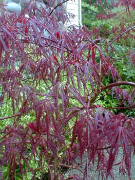 Paghat S Garden Acer Palmatum Dissectum Red Dragon